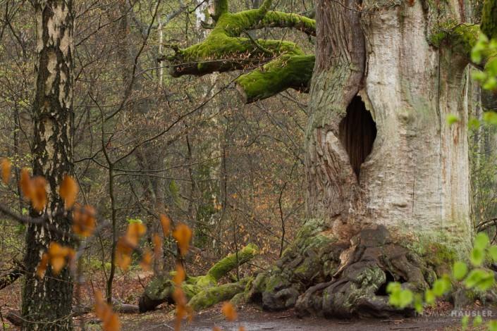 Bäume- Eichenstamm mit Loch, auch als Kamineiche bezeichnet, im Urwald Sababurg im Reinhardswald