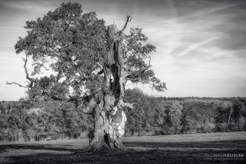 Urwald Sababurg Alte Baeume Herbst X