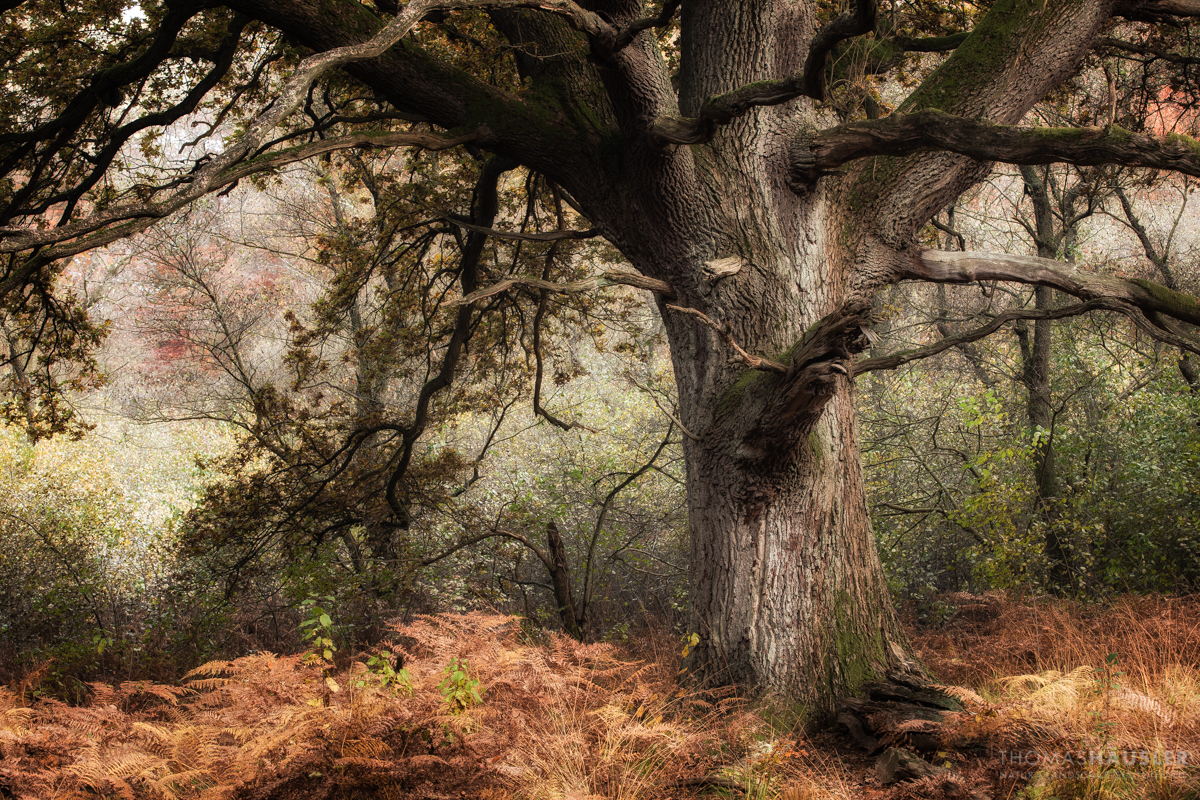 Stieleiche Quercus Robur Thomas Hausler Natur Und