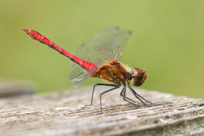 Insekten - makro gemeine heidelibelle